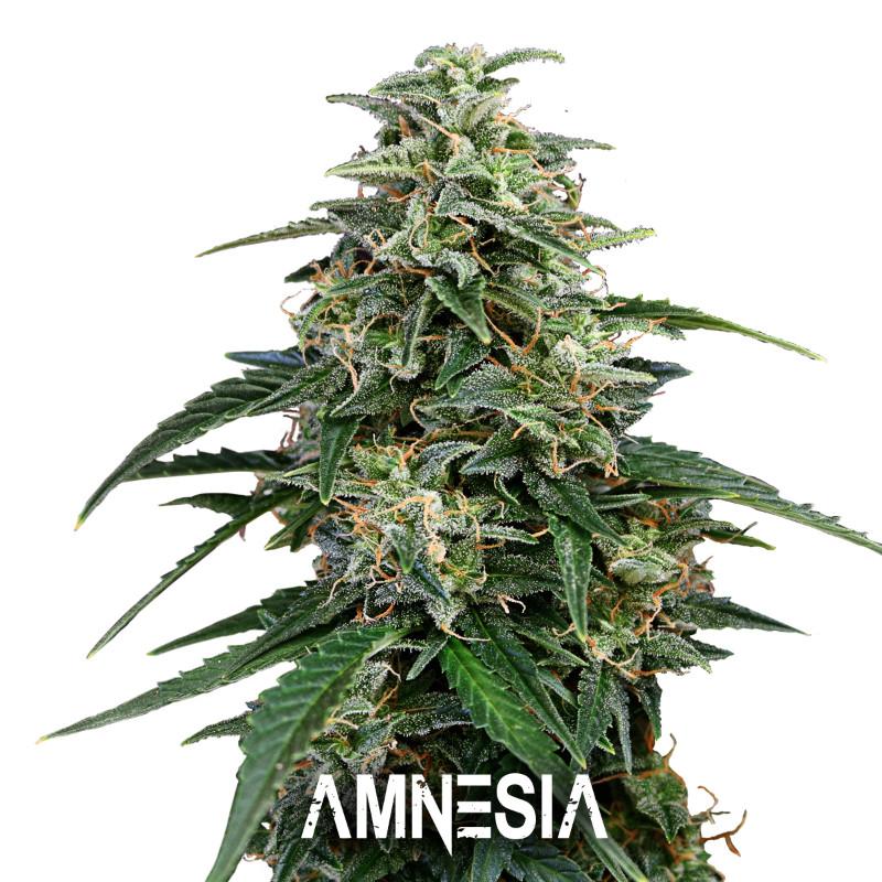 amnesiafinal