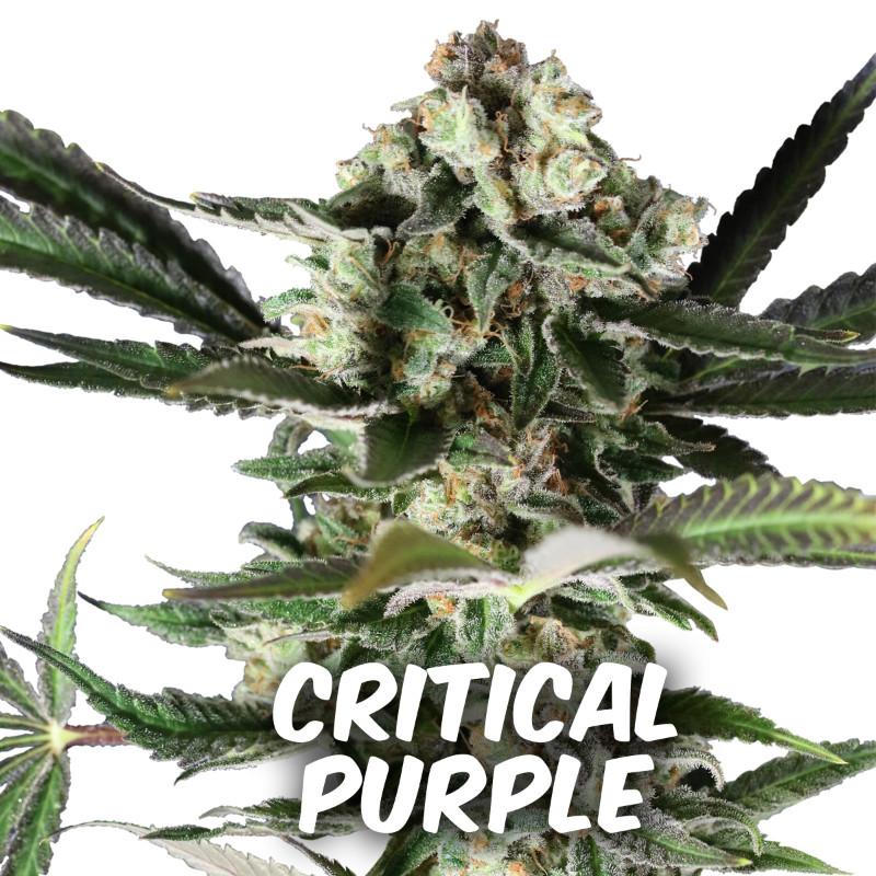 criticalpurple11